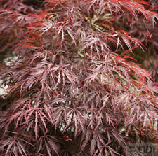 ROSSO scuro a taglio acero Garnet 100-125cm Acer palmatum