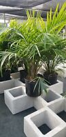 """Majesty Palm Tree live Ravenea plant grown in 10"""" pot but SHIPPED BARE ROOTED"""