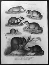 1810 John Wilkes Antique Print of Mammals - Beavers, Muskrats, Mice, Hamsters.