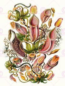 Nature Art Haeckel Ernst Sea Plant Biology Germany Vintage Canvas Art Print