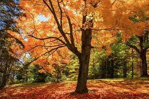 20 Sugar Maple tree seeds