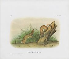 "1989 Vintage ""White Weasel, Stoat"" Long Tail Audubon Mammal Color Art Lithograph"