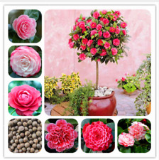 100% Real  Camellia Seeds Potted Flowers Seeds Bonsai Plant 24 Home & Garden