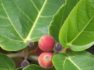 Bengalische Feigenbaum  verbessert das Raumklima - Zimmerpflanze Büro Wohnraum.