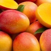 Mango Haden Tropical Fruit Tree Plant