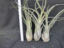 Tillandsia caput- medusae,  3 Stück