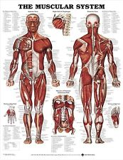 MALE MUSCULAR SYSTEM POSTER (66x51cm) ANATOMICAL CHART HUMAN BODY MEDICAL NEW