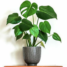 1 x Stunning Monstera Deliciosa 40-50cm Potted Indoor Houseplant