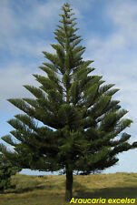 5 pounds fresh seeds*** ARAUCARIA EXCELSA***NORFOLK ISLAND PINE***FREE SHIPPING