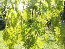 rare Living Fossil tree, Metasequoia glyptostroboides DAWN REDWOOD, hardy, hedge