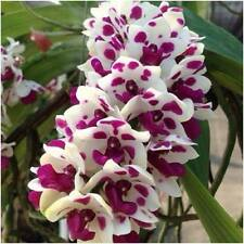 "Rhynchostylis gigantea Alba Cartoon orchid flower size x 1"" pot"