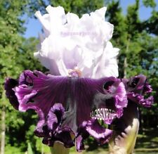 "Tall Bearded ""Dinner Talk"" Iris~Heavily Ruffled Violet Purple~Stunning Contrast"