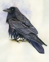 Raven Corvus Corax perched. Wildlife print from an Original Watercolour Painting