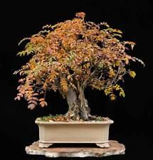 5 X Sorbus aucuparia Rowan bonsai trees winterhardy