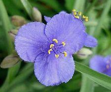 30+ LIGHT BLUE TRADESCANTIA SPIDERWORT FLOWER SEEDS / PERENNIAL