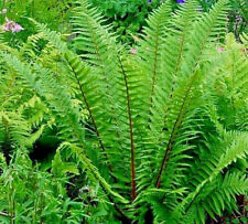 1 Dryopteris affinis Pinderi Fully Hardy Deep Shade Fern winter Groundcover