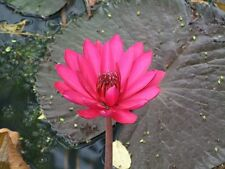 500 SEEDS RED NIGHT WATER LILY NYMPHAEA POND PLANT FRESH AND VIABLE NOT LOTUS