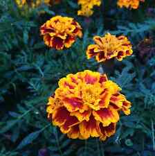Marigold Seed French Dwarf Double Mixed Orange Yellow Red Annual Flower Garden