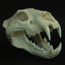 AFRICAN LION MALE SKULL REPLICA (REAL SIZE)