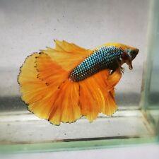 Live Betta Fish - Male - Fancy Candy Yellow PineApple Halfmoon (AMMAUG136)