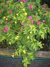 Großpackung Blumensamen, ca. 250 Samen der Mirabilis jalapa / Wunderblume