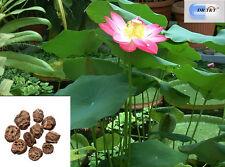 Dr T&t ou Jie, Lotus rizoma nodos 100g Dry Herbs