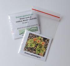 Drosera glanduligera_Sundew_Carnivorous Plant_Western Australia_15 seeds