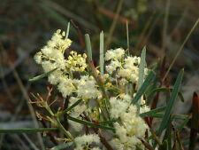 Acacia suaveolens - Sweet Wattle 15 seeds