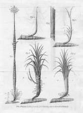 BOTANICAL PRINT - The Sugar Cane - original print, Early XIX century.