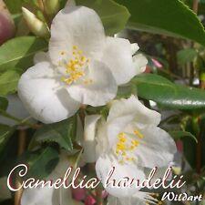 """Kamelie """"Camellia handelii"""" - Wildart - 3-jährige Pflanze"""