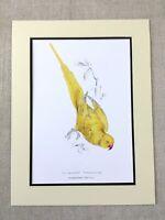 Yellow Parrot Print Rose Ringed Parakeet Exotic Birds Edward Lear Painting