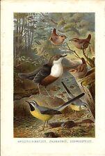 Stampa antica UCCELLI USIGNOLO SCRICCIOLO BALLERINA 1891 Old Antique print