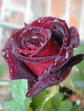'Black Baccara' rose - 5 semigreen steem unrooted cuttings- rare and unusual