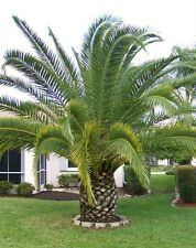 canary palm tree- Phoenix canariensis- Finest 5  seeds - palm seeds