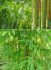 Riesenbambus Pflanzen & Samen - Schnellwachsend - versch. Sorten
