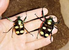 Insect grub feeder 5 x L2 jumnos ruckeri ruckeri flower beetle larvae