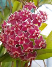 Hoya pubicalyx - Wachsblume / Porzellanblume - hängende Zimmerpflanze