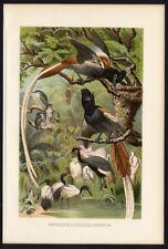 Antique Print-PARADISE FLYCATCHER-Brehm-1890
