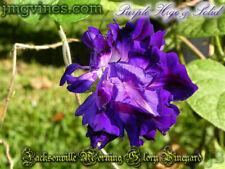Purple Hige & Solid Ipomoea Purpurea Morning Glory 6 Seeds
