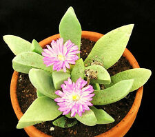 Cerochlamys Pachyphylla, rare plant exotic living stones succulent seed 15 Seeds