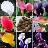 100x Calla Lily Tuber Flower Seeds Perennial Garden Plant Bulbs Bonsai Herb