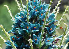 PUYA BERTERONIANA FLOWER SEEDS * STRIKING* Turquoise Pineapple Family