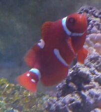 Lightning Maroon Clownfish Live Saltwater Fish Wysiwyg or Pick your own!