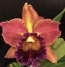 Pot. Susan Fender x Rlc. Hilo Grand Orchid Plant