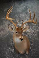 SKU 1516 Whitetail Deer Taxidermy Shoulder Mount SCI Score 155 0/8