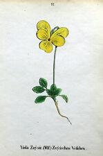 Viola zoysii Alpine Fiore WEBER ORIGINALE ANTICO Botanico Stampa 1872