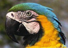 Ansichtskarte: Gelbbrust - Ara - Papagei - blue and yellow macaw