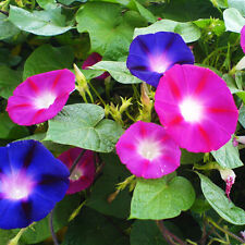 Morning Glory Seeds 20 Seeds Ipomoea Cairica Flower Garden Seeds A013 For Gift