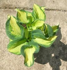 HOSTA GREAT EXPECTATIONS  - 20 SEEDS