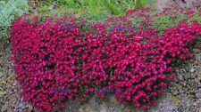 AUBRETIA DELTOIDE ROJO  red  100 Semillas Seeds Samen